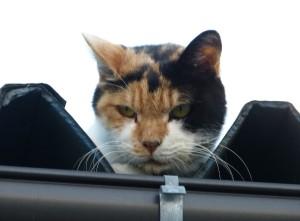 暑いトタン屋根の猫…